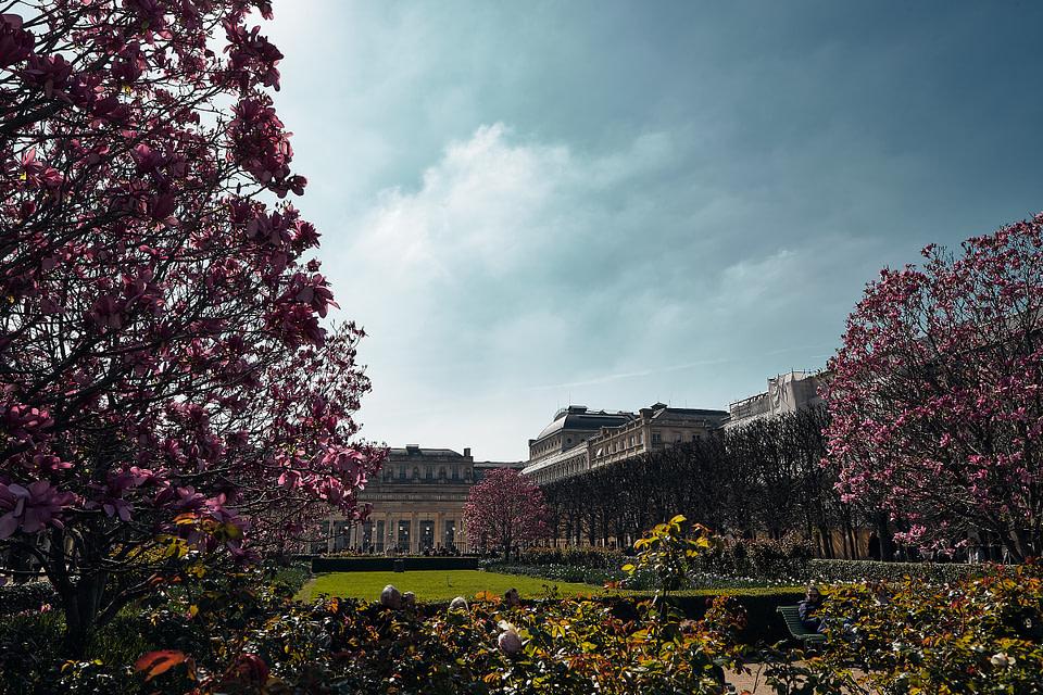 Les magnolias en fleur au printemps dans le jardin du Palais Royal à Paris